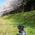 Photos: 水城跡の桜と菜の花♪