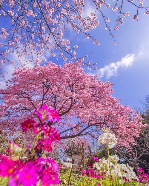 白野江の河津桜