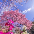 Photos: 白野江の河津桜