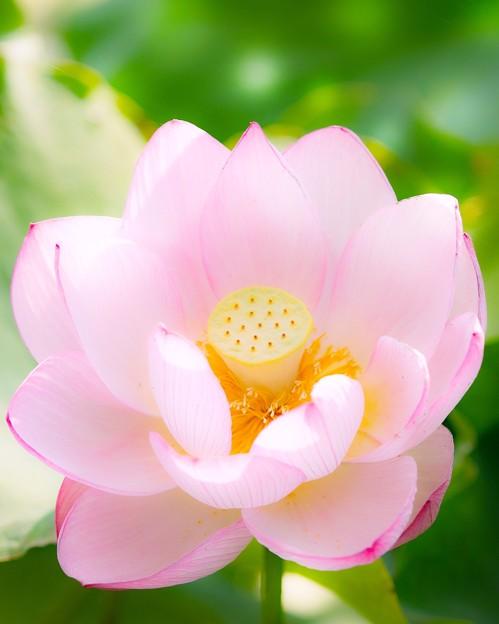 蓮の咲くころ・・