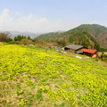 Photos: 「山肌埋める春の花」