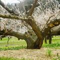 Photos: 「老木の威厳」