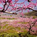 Photos: 「桃の花弾ける」