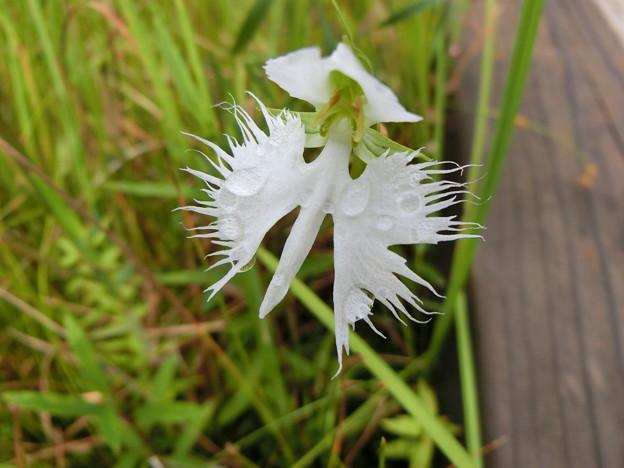 湿原に咲いた鷺草