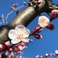 Photos: 1分咲き