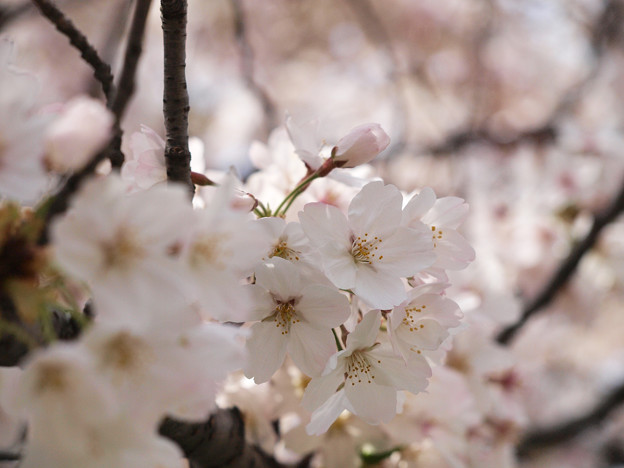曳舟川の桜