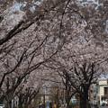 曳舟川親水公園の桜