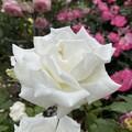 Photos: 白いバラ