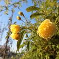 庭の薔薇で一番早く咲きましたね♪