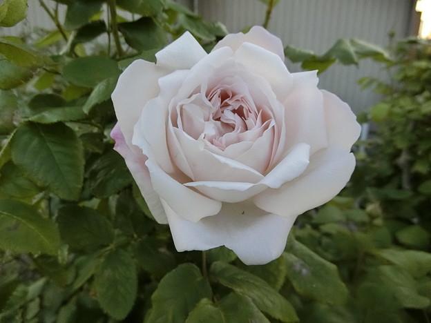 イングリッシュローズが咲きかけました1)