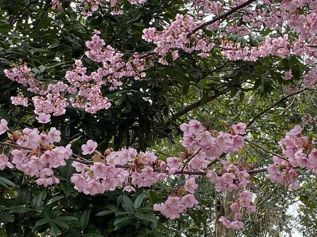 2021.2.27 小彼岸桜(江戸彼岸×豆)