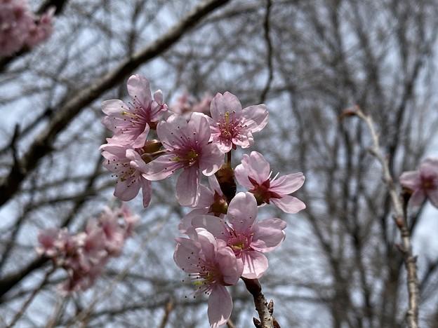 2021.2.27 川津桜(大島×寒緋)