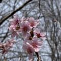 Photos: 2021.2.27 川津桜(大島×寒緋)
