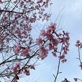 Photos: 2021.2.27 桜 オカメ(寒緋×豆)