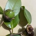 椿 熊谷の種