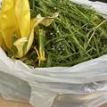 2021.4.18 チューリップの花柄と姫小判草の種