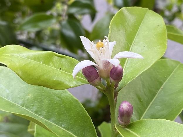 2021.5.14 レモン 璃の香の花