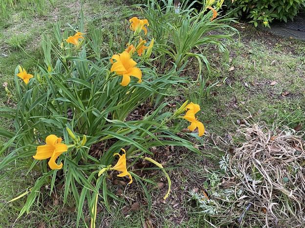 2021.5.17 ニッコウキスゲと枯葉と草