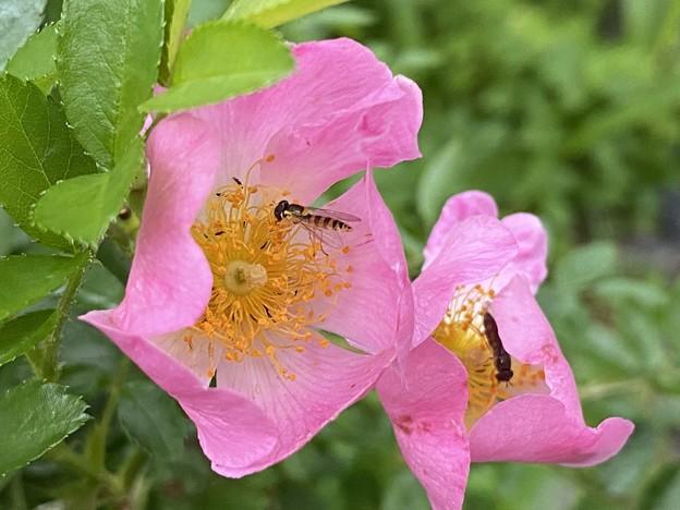2021.5.18 蔓薔薇と蜂