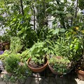 2021.6.24 鉢植えの整理