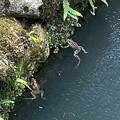 2021.7.31 三調家の泉水のカエル