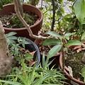 2021.10.15 植木鉢の置換え