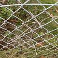 2021.10.17 フェンス際のアベリア(ツクバネウツギ)の枯枝1
