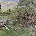 2021.10.17 フェンス際のアベリア(ツクバネウツギ)の枯枝2