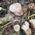 2021.10.17 勝手に生えた楠の根の中心5cm大