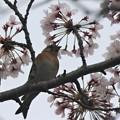 Photos: 桜アトリ