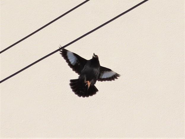 ハッカチョウ飛翔姿
