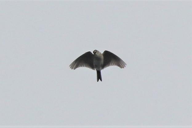 ヒバリの飛翔姿