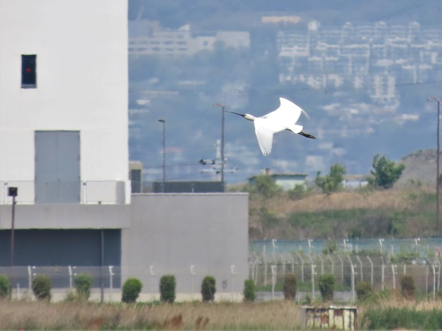 ヘラサギ飛翔姿