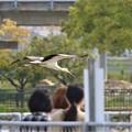 Photos: コウノトリの飛翔姿