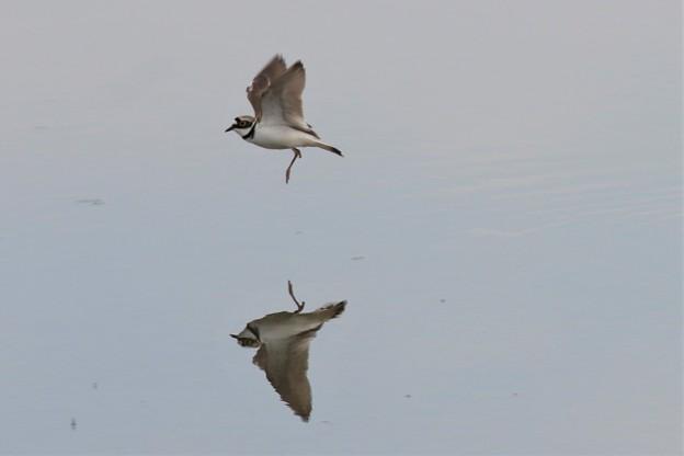コチドリ飛翔姿