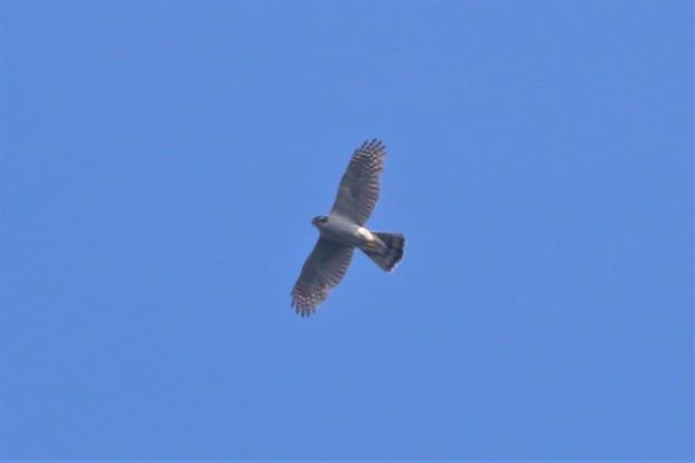 オオタカの飛翔姿