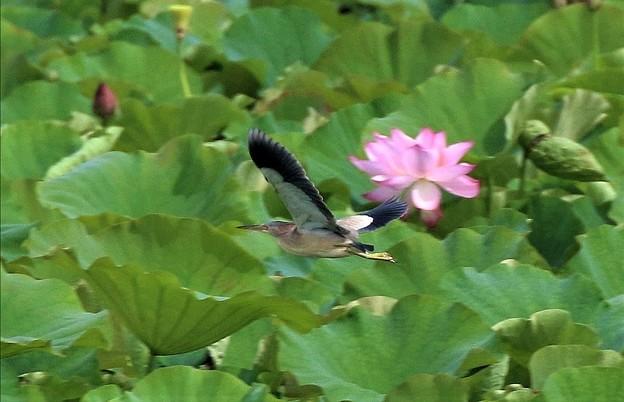 蓮池のヨシゴイの飛翔姿