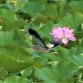 Photos: 蓮池のヨシゴイの飛翔姿