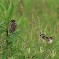 スズメの幼鳥とセッカ