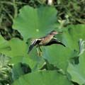 Photos: ヨシゴイの幼鳥?