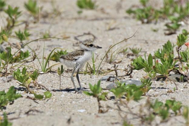 シロチドリの幼鳥