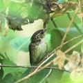 Photos: ヤブサメ幼鳥