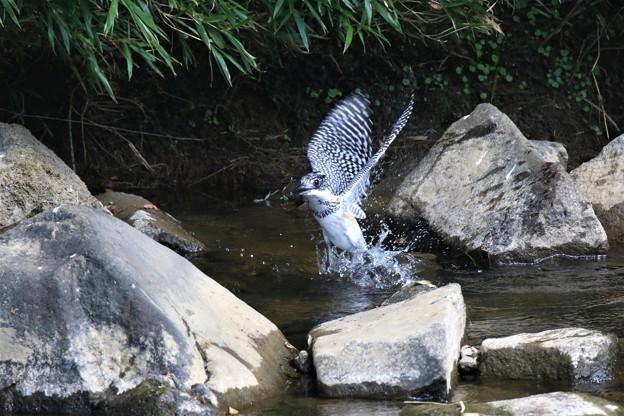Photos: ヤマセミ幼鳥