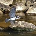 ヤマセミ幼鳥飛翔姿