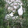 Photos: コサギの雛さん