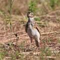 Photos: ヒバリの幼鳥