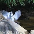 Photos: ヤマセミの幼鳥さん