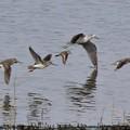 ソリハシシギ 飛翔姿