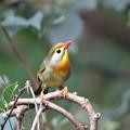 Photos: 相思鳥