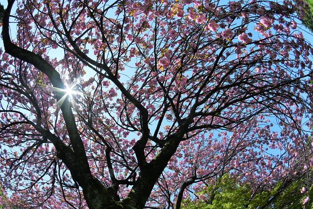 枝垂れ桜は満開